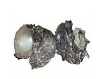 Drilled Angaria Delphinula Seashells