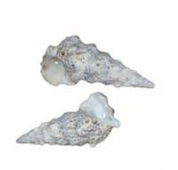 Drilled Cerithium Nodolusom Seashells