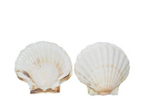 Irish Deep Seashell