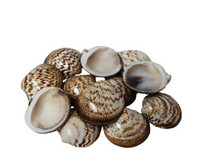 Polished Bittersweet Clam