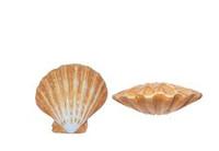 Polished Lion's Paw Pairs Seashells
