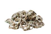 Silvermouth Turbo Slice  Seashells