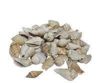 White Chula Seashells