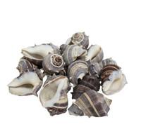 Crown Conch Edged Seashell