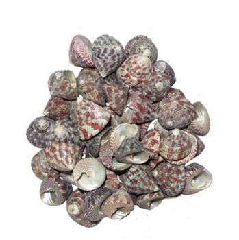 Trochus Radiatus Seashells