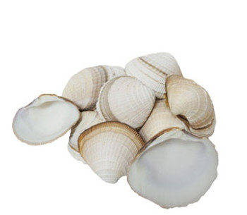 Cheena Clam Seashells