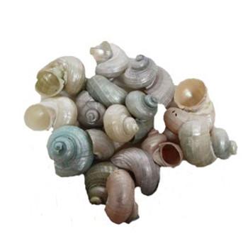 Dyed Pearled Turbo Seashells