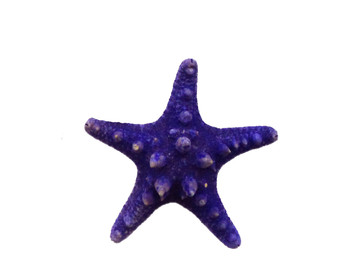Lavender Dyed Armoured Starfish