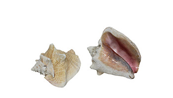 Pink Conch Without Slit
