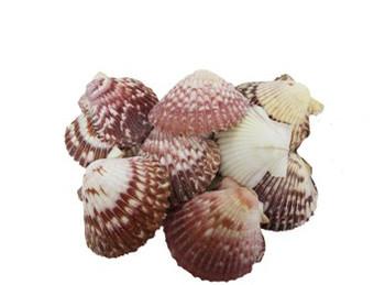 Pink/Purple Pecten Seashells