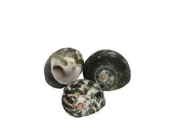 Polished Cinerius Turbo Seashells