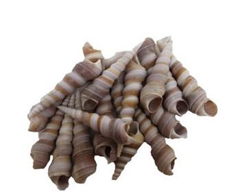 Small Purple Turitella Seashells