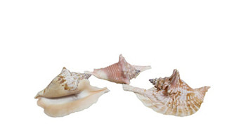 Rooster Conch Assorted Sizes
