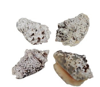 Silverlip Strombus Seashells