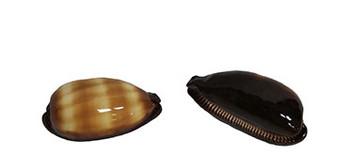 Talpa Cowrie Seashells