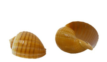 Tonna Galea Seashells