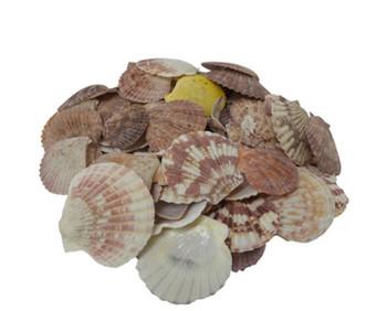 Pecten Nobilis Seashells
