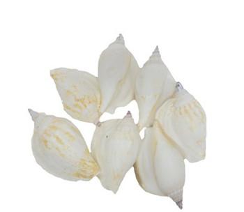 White Strombus Epidromis