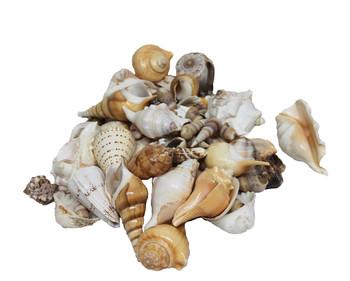Extra Large India Mix Seashells