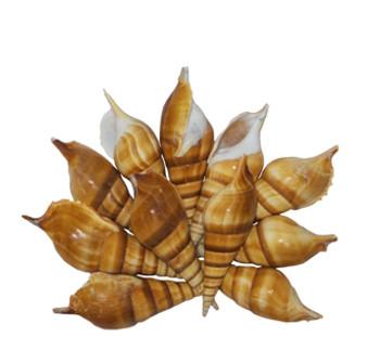 Tibia Curta Seashell