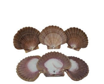 Drilled Flat Seashells