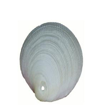 Drilled Codakia Tigrina Seashells