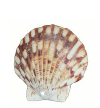 Drilled Pecten Macarinsis Seashells