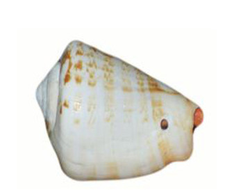 Drilled Strombus Luhuanus Seashells