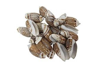 Oliva Gibbosa Seashells-Kilo