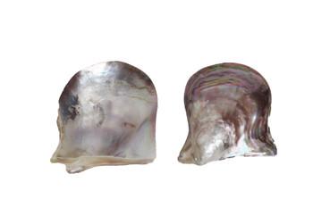 Polished Western Wing Oyster Seashells