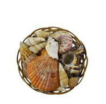 Midrib Seashells Value Pack