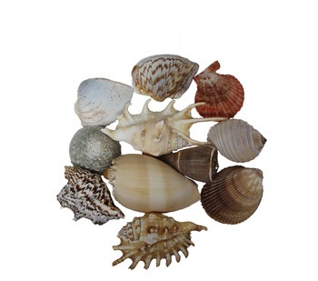 Assorted Mixed Seashells