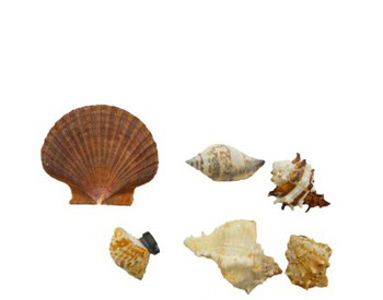 Assorted Seashell Magnets