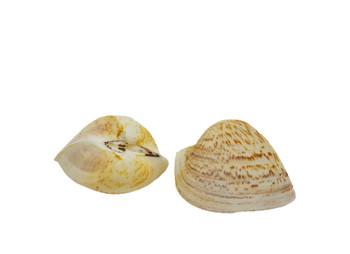 Cardium Seashells