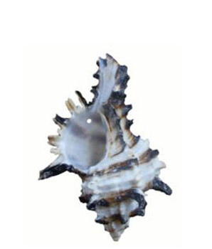 Drilled Murex Endivia Seashells