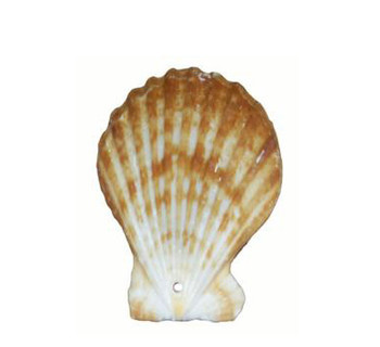 Drilled Pecten Radula Seashells
