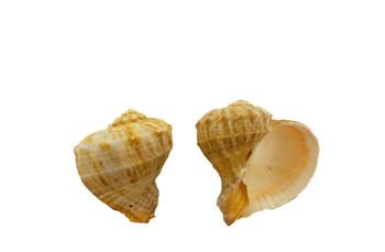 Drilled Rapana Rapiformis Seashells