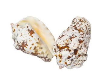 Drilled Strombus Lentiginosus Seashells