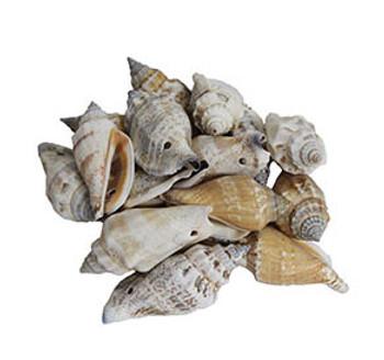 Drilled Strombus Urceus Large Seashells