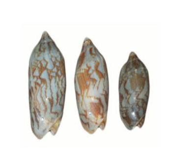 Drilled Voluta Vispertillo Seashells