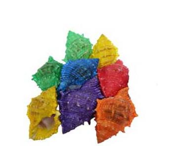 Dyed Bursas Seashells