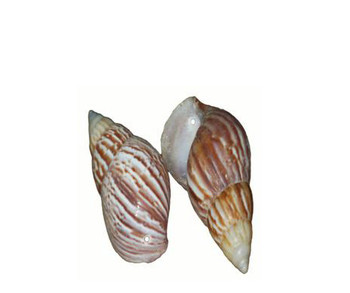 Drilled Japanese Land Snail Seashell
