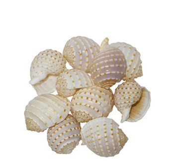 Tonna Tessalata Seashell