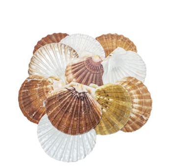 Irish Flat Seashell