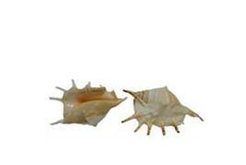 Lambis Lambis Seashells
