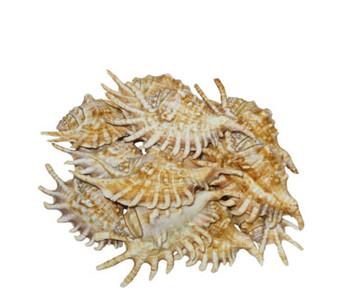 Lambis Millepeda Seashell