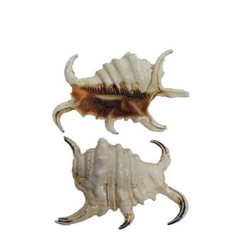 Lambis Rugosa Seashells