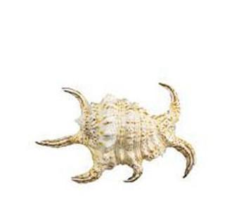 Lambis Rugosa Seashell