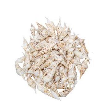 Lophiotoma Indica Seashell