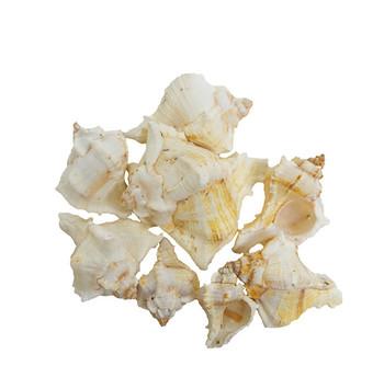 "Murex Virgenius Seashell 1½ - 4"""